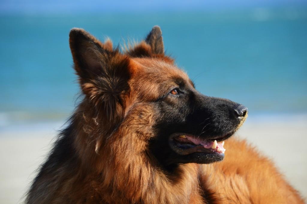 german-shepherd-dog-security